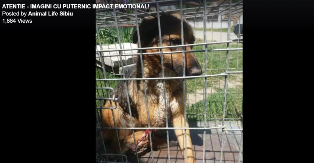 Cățelușa aruncată dintr-o mașină și salvată de Animal Life se recuperează| Video
