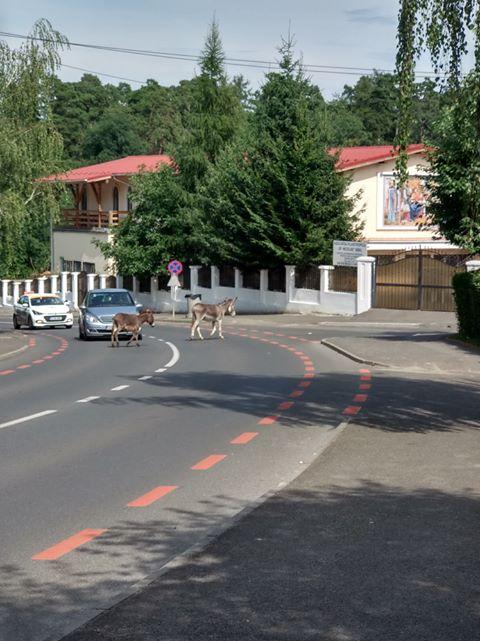 Sibiu, sat frumos! Măgari la plimbare prin Valea Aurie