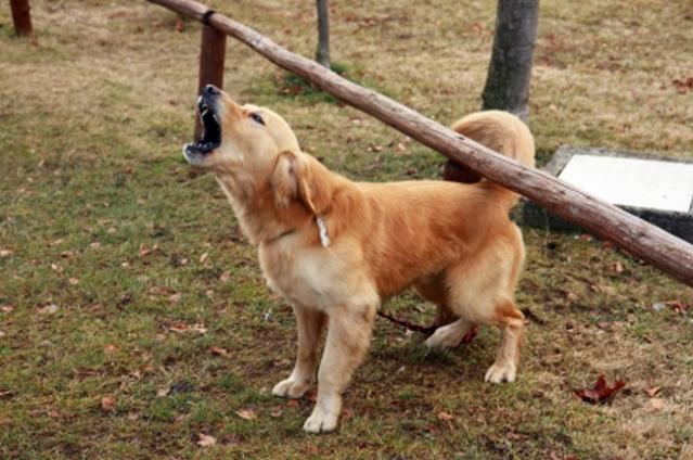 Un consilier local din Mediaș a propus oficial operarea câinilor la corzile vocale, ca să latre încet