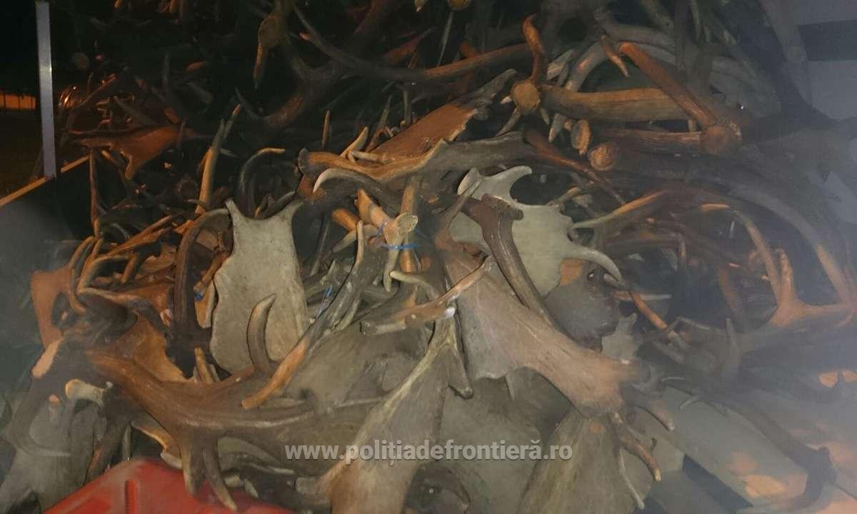 Un cetăţean ceh a fost prins încercând să scoată din ţară 680 de coarne de cerb