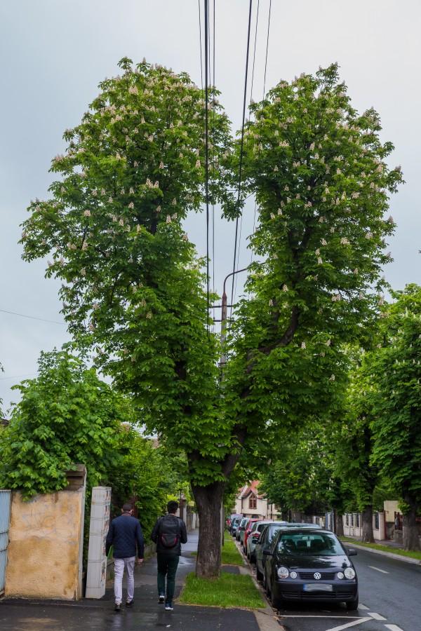 FOTO-Copacul din Sibiu ajuns obiectiv turistic