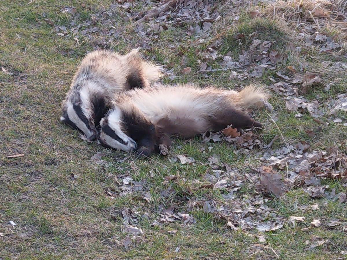 Animale moarte în Pădurea Dumbrava. Nu interesează pe nimeni