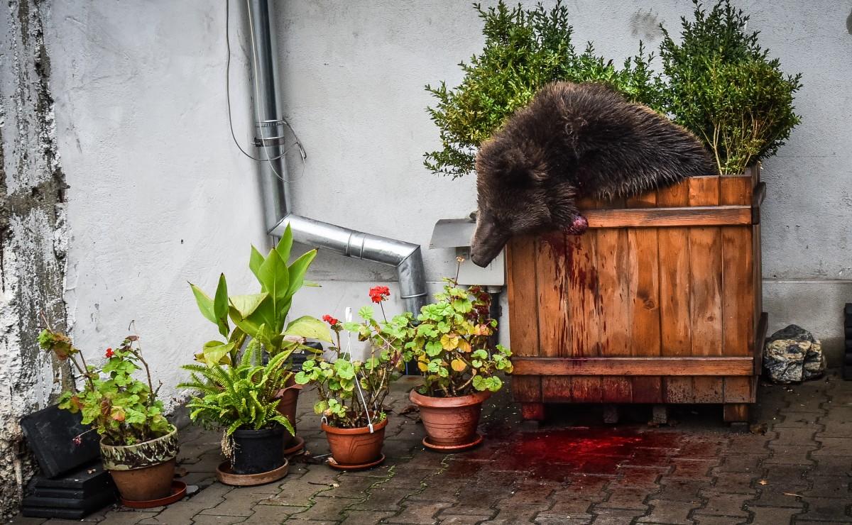 Prefectul Sibiului se spală pe mâini de împușcarea ursului | VIDEO