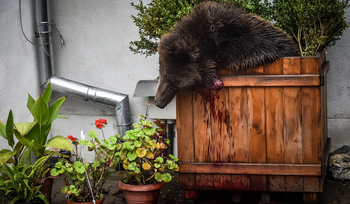 """Primul plan propus pentru animalele sălbatice care intră în oraș. """"Ursul ar fi putut fi scos din Sibiu pe Cibin"""""""
