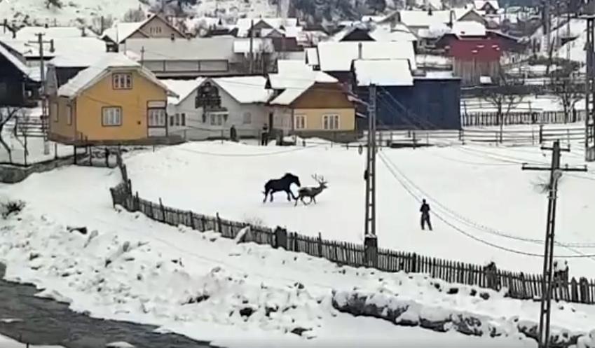 Video inedit.Un cerb vine din pădure și sejoacă cu un cal