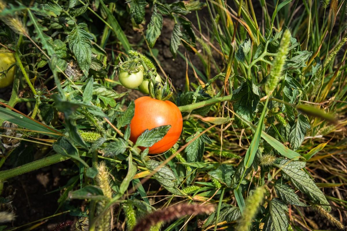 Grădina mea de la oraș. Roșii, castraveți, ardei și fasole: de ce e bine să le mănânci proaspete?