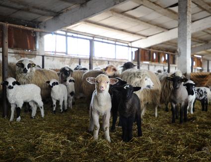 Boala face ravagii în județ. Peste 350 de animale sacrificate