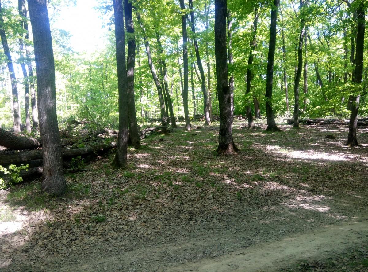 """Arbori tăiați în Pădurea Dumbrava. """"Nu e nimic ilegal, e vorba de o curățire normală a pădurii"""" FOTO"""
