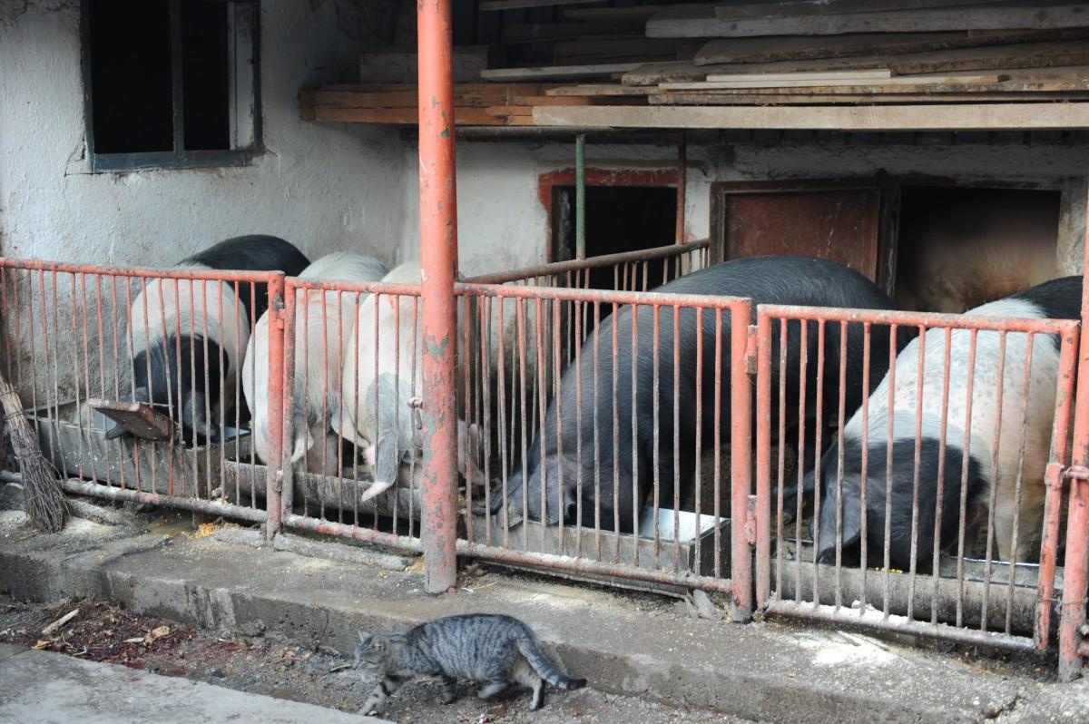 Pesta porcină de lângă Sibiu. ANSVSA confirmă că cele două focare din Vâlcea au fost stinse, dar mai sunt patru în Argeș