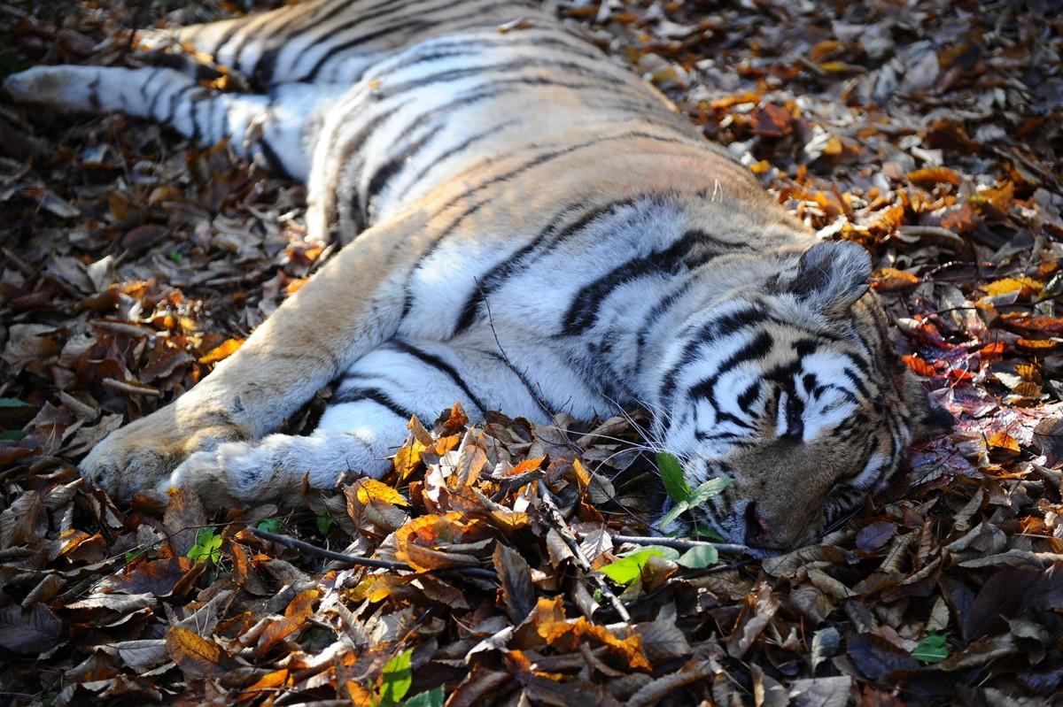 Povestea tigrului dinSibiu este prima producție a Teatruluidin Suceava