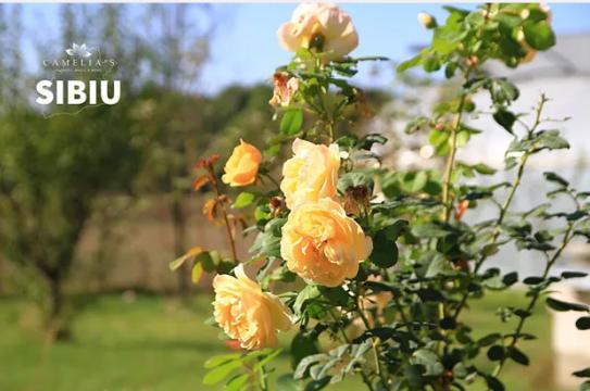 Trandafirii – Flori deosebite, ușor de îngrijit