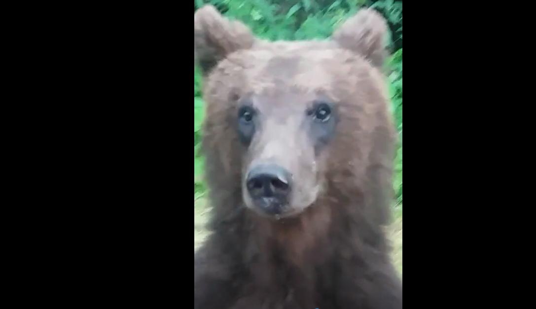 Ce să faceți dacă vă întâlniți cu ursul: nu fugiți!
