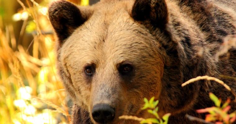 Mai mulți urși observați la marginea Sibiului. Autoritățile au fost alertate