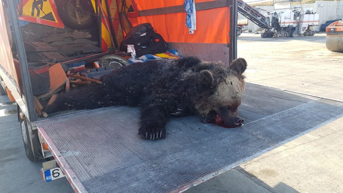 FOTO-Încă un urs omorât pe autostrada Sibiu-Sebeș. Al treilea