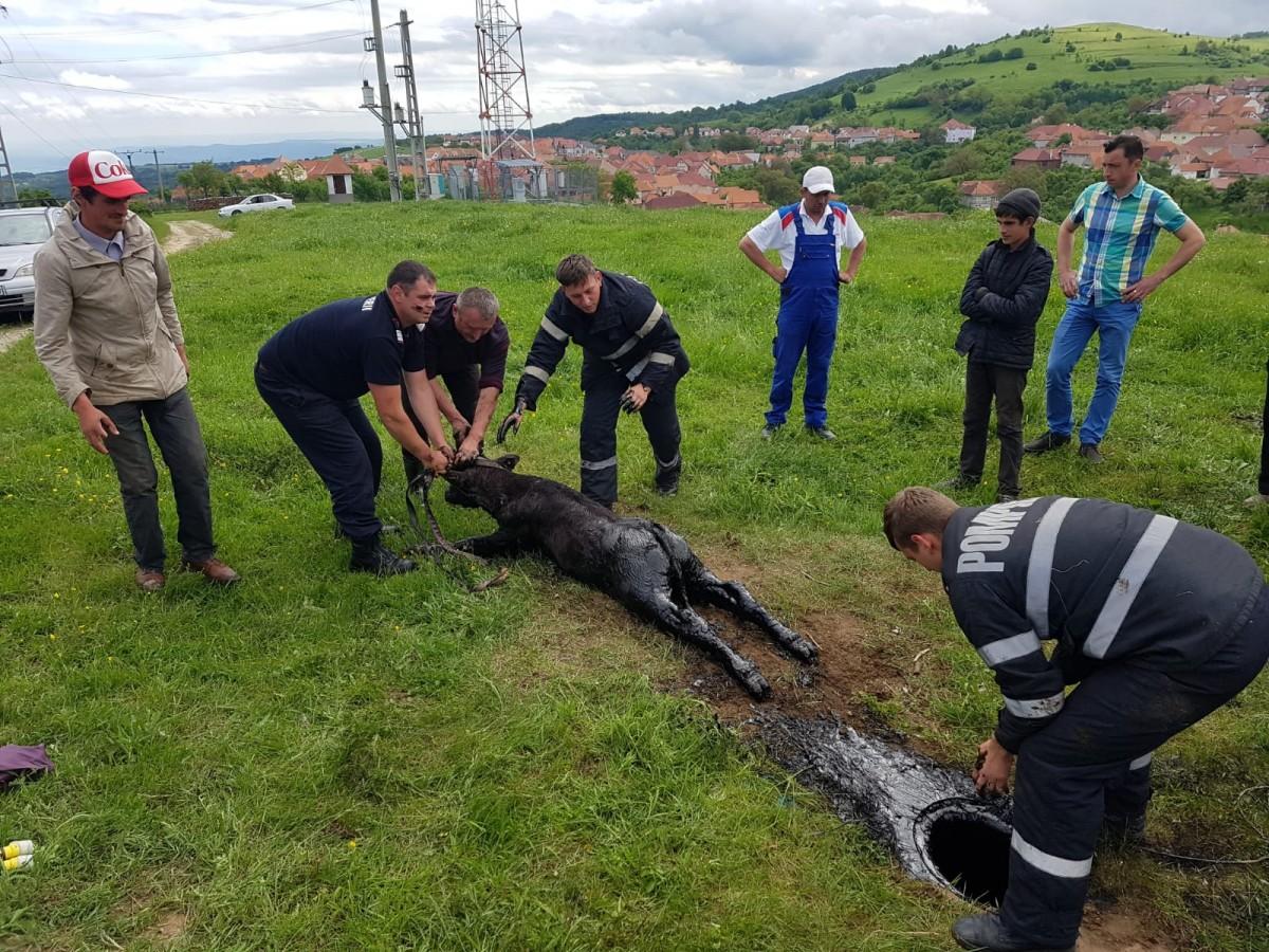 Vițel salvat de pompieri, după ce a căzut într-un bazin cu păcură