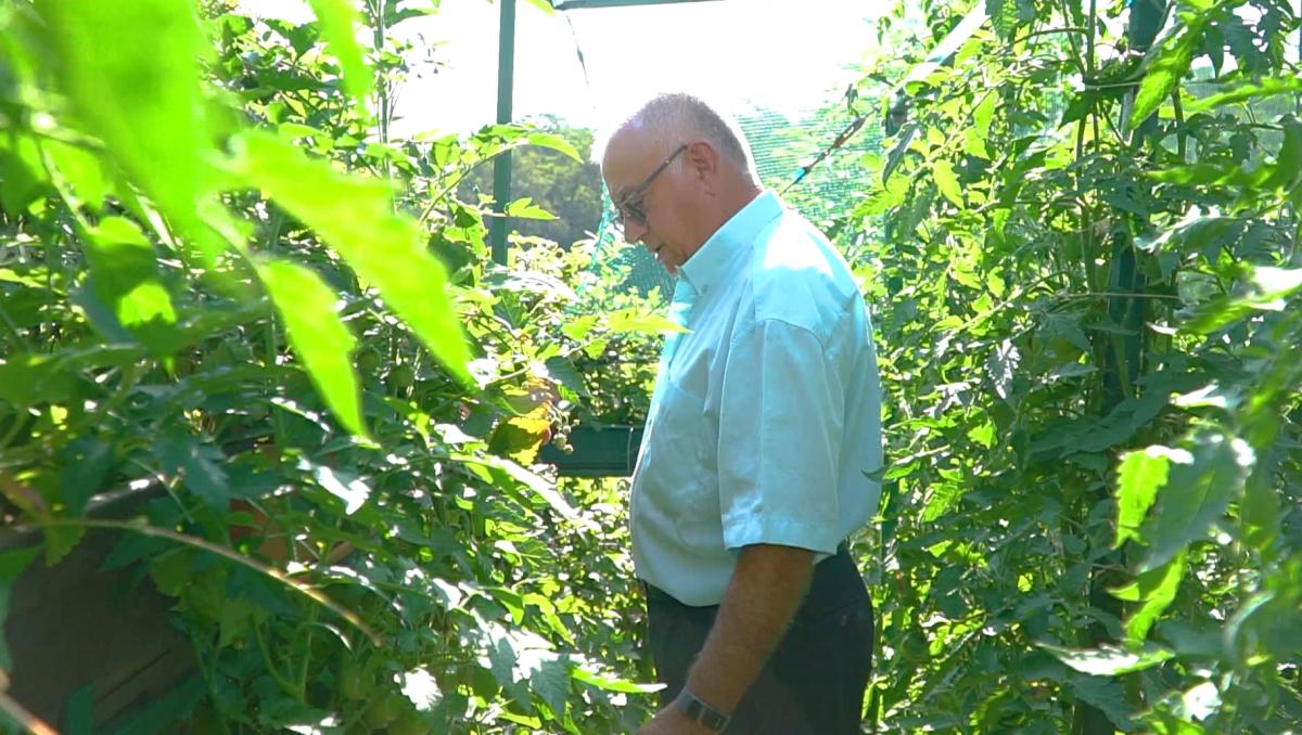 VIDEO Nea Zaharia, grădinarul din Valea Aurie. Își crește roșiile cu polobocul