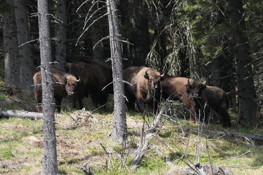 VIDEO Conservation Carpathia: Munții Făgăraș devin casă pentru zimbri – primii opt zimbri au fost puși în libertate