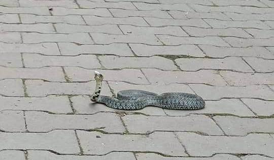 FOTO – Un șarpe fotografiat într-o parcare din Sibiu este viral pe rețelele de socializare