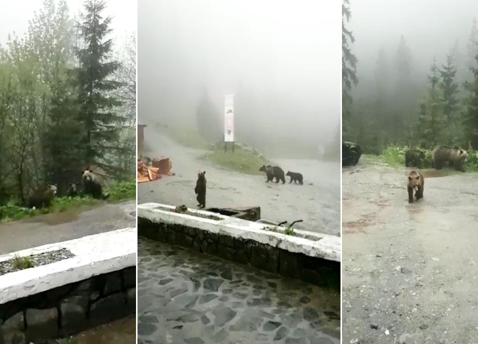 VIDEO – Efect al pandemiei: Urșii nu se mai tem și intră în cabanele și chioșcurile de pe Transfăgărășan