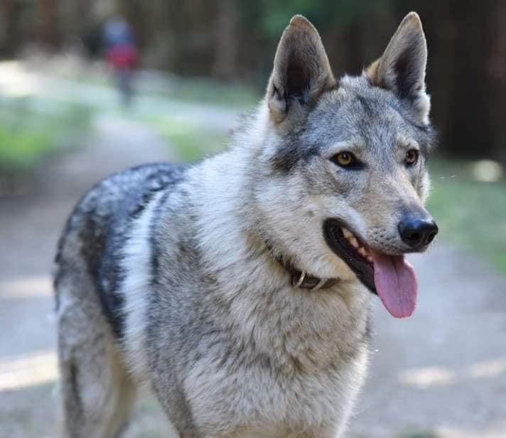 O familie din Cehia și-a pierdut câinele pe Transfăgărășan și oferă 4000 de lei recompensă