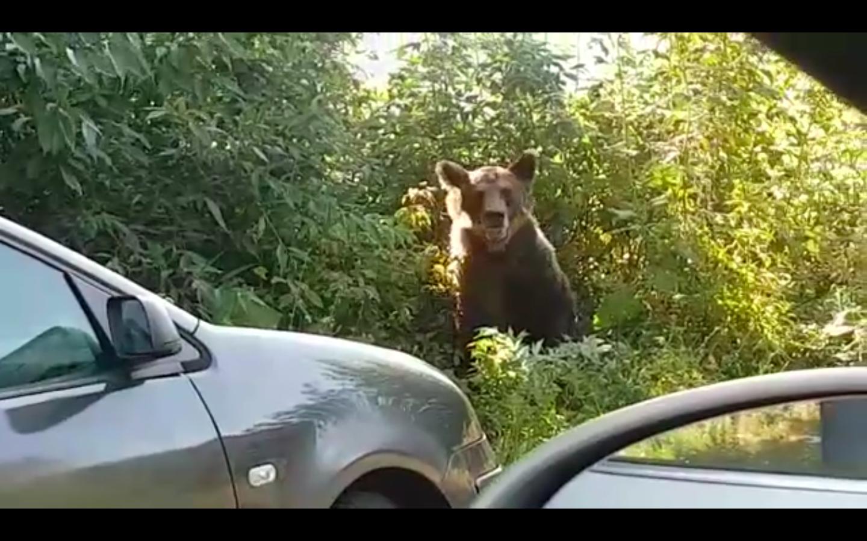 Video viral, la doi pași de urs. AJVPS atrage atenția tinerilor inconștienți