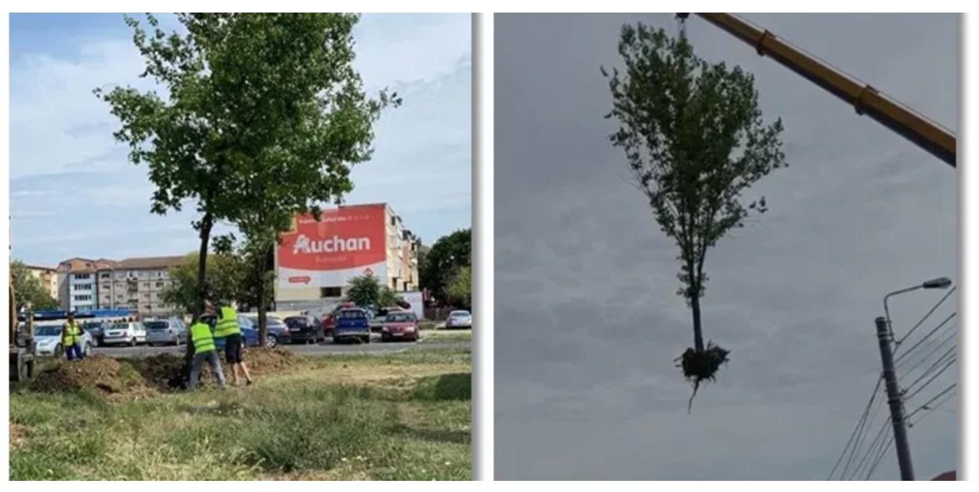 Copaci mutați cu tot cu rădăcină, în Timișoara. Model pentru Sibiu?