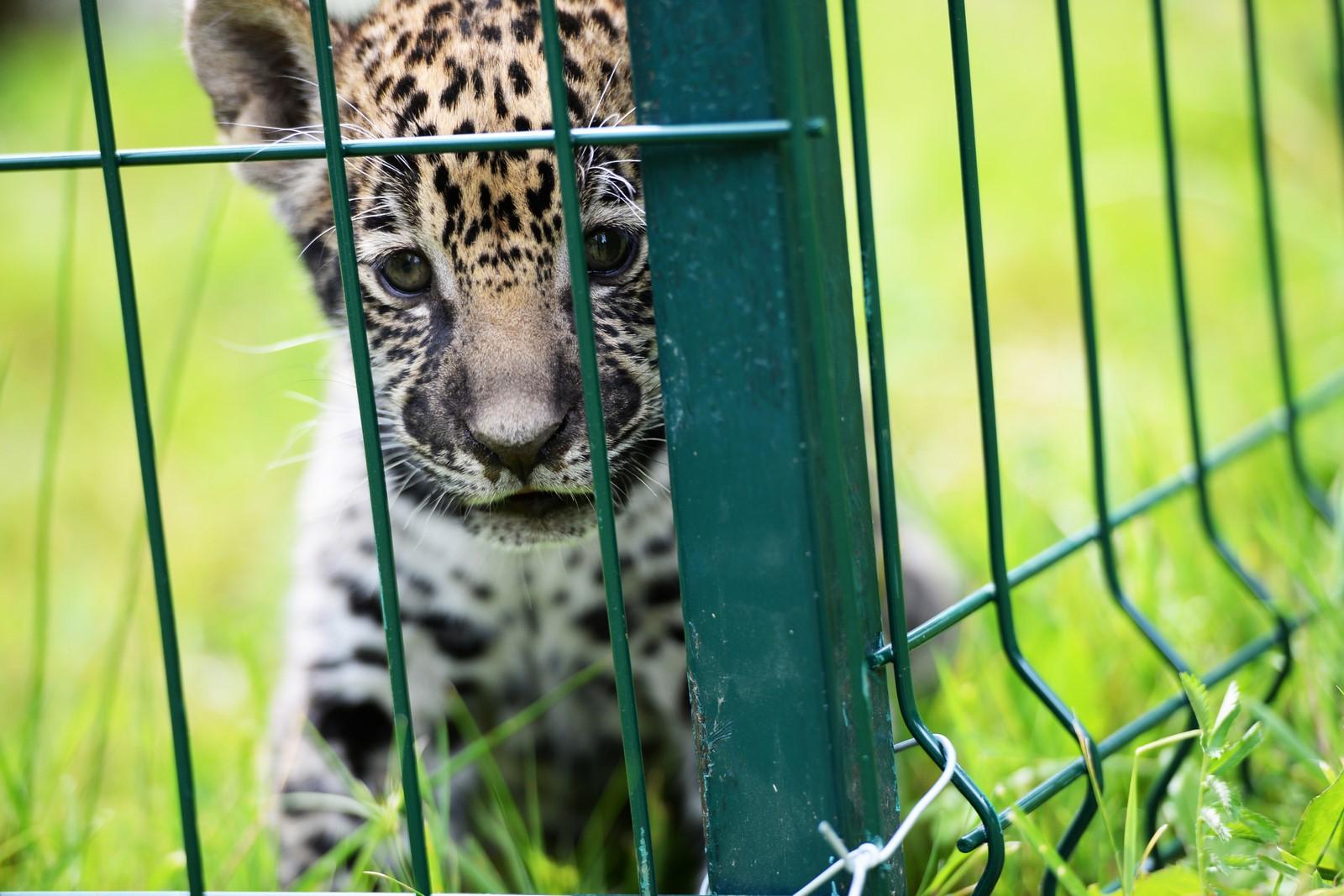 Cât costă să vinzi înghețată lângă jaguari? De la 1.220 de lei pe lună în sus