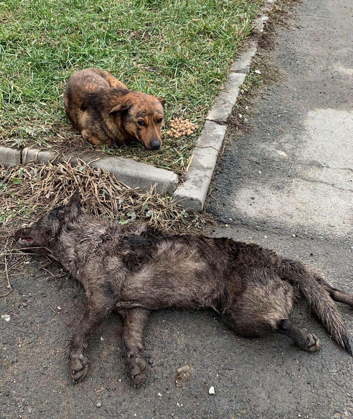 Imagini înduioșătoare în Cisnădie: Un cățel nu se dezlipește de lângă prietenul omorât de mașină de 12 ore