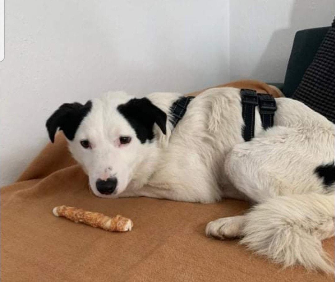 """Operațiunea """"Salvați-l pe Shpitz"""":Doi sibieni merg în Germania să recupereze un câine adoptat care a fugit de acasă"""