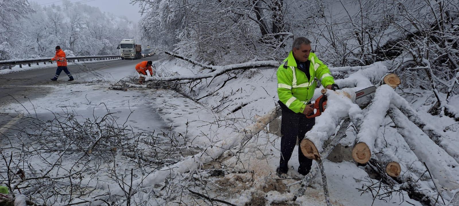Zăpada din martie a doborât copaci pe drumul dintre Mediaș și Bârghiș