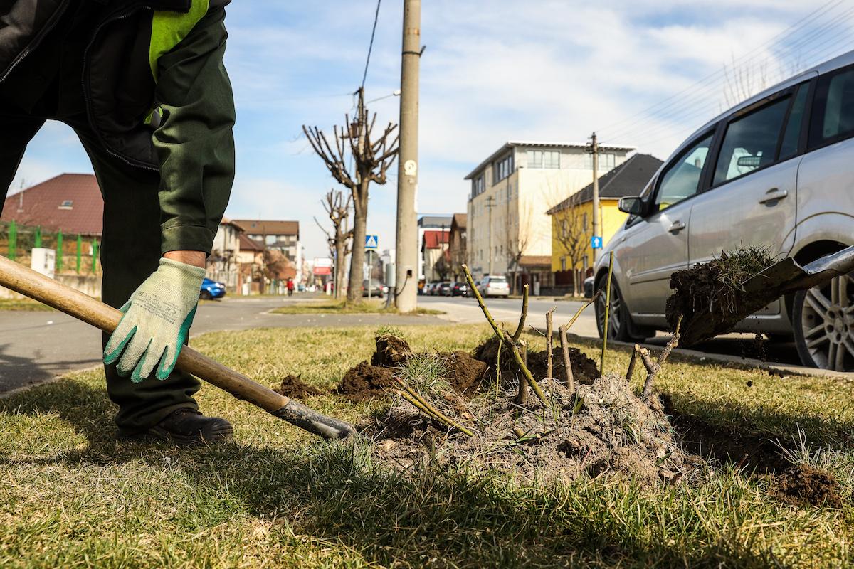 Primăria Sibiu: Încep lucrările de modernizare a Căii Dumbrăvii. Prima etapă – protejarea arborilor și plantelor existente pe această arteră