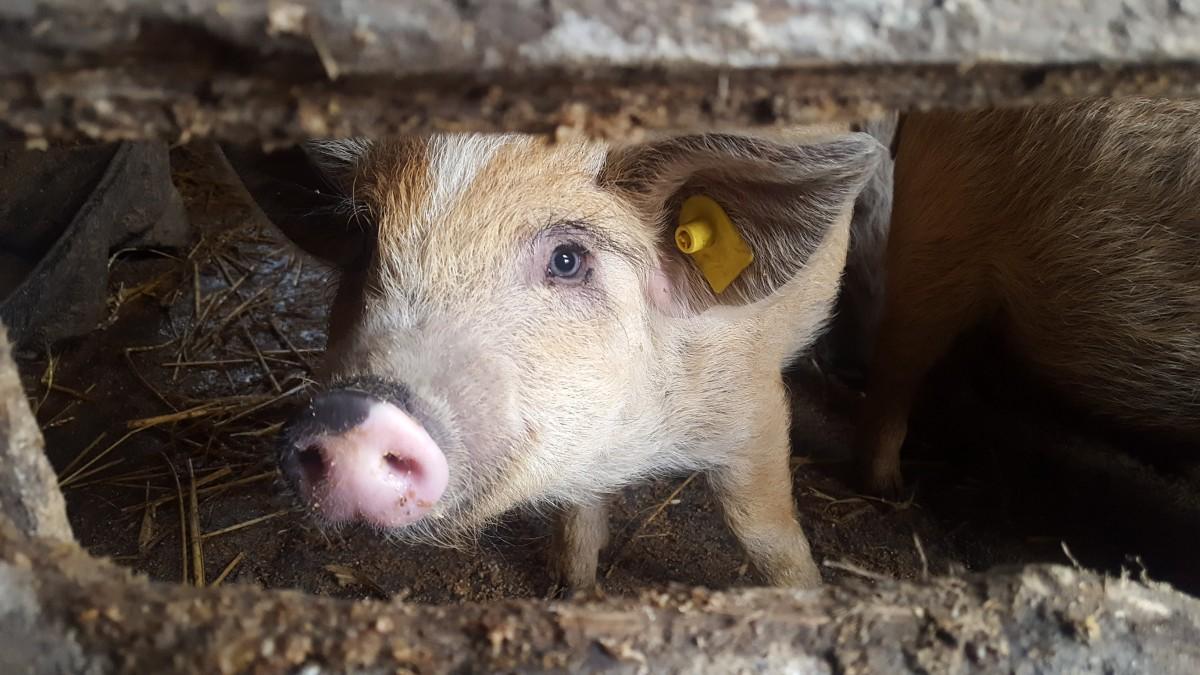 Focare de pestă porcină africană - identificate în comunele Vurpăr şi Dârlos