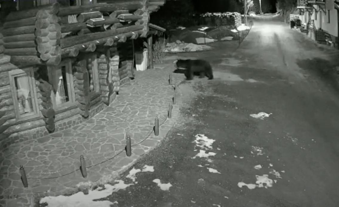 VIDEO – Urși filmați la Păltiniș, aproape de Arena Platoș și la baza pârtiei Oncești