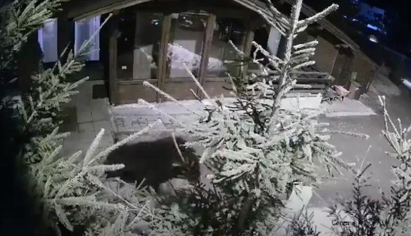 VIDEO – Urs filmat la o pensiune din Păltiniș, aproape de Arena Platoș