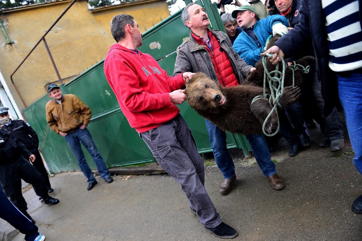 Prefectura a publicat procedura după care autoritățile intervin în cazul aparițiilor urșilor și lupilor în localități. Rolul cel mai important îl au jandarmii