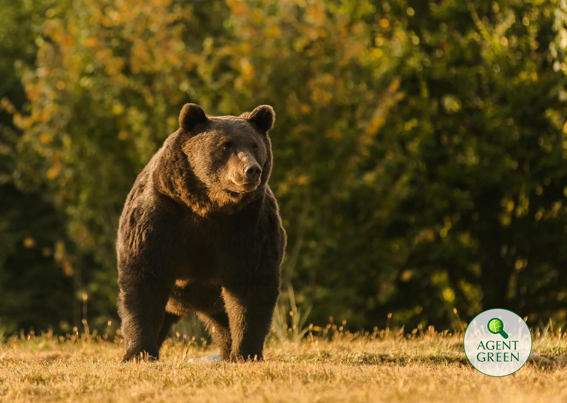 Cîţu despre ursul împuşcat în Covasna: Se pare că nu este cel mai mare, vom vedea concluziile anchetei