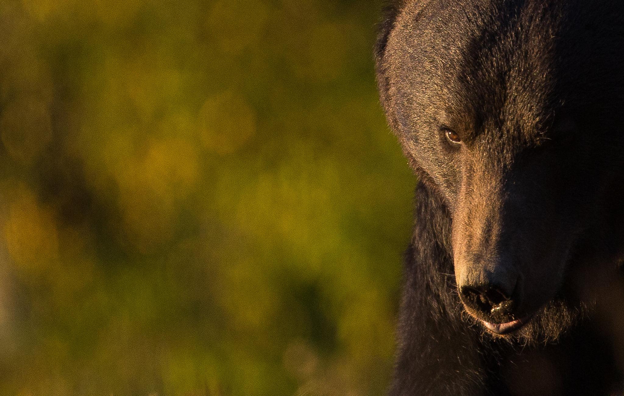 Un urs a coborât în grădina unui localnic din Gura Râului. Primăria a alertat Prefectura