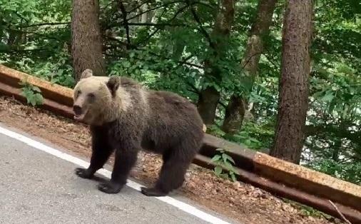 Mulți șefi ai județului, despre urși: pot fi un real pericol, dar nu avem ce face!