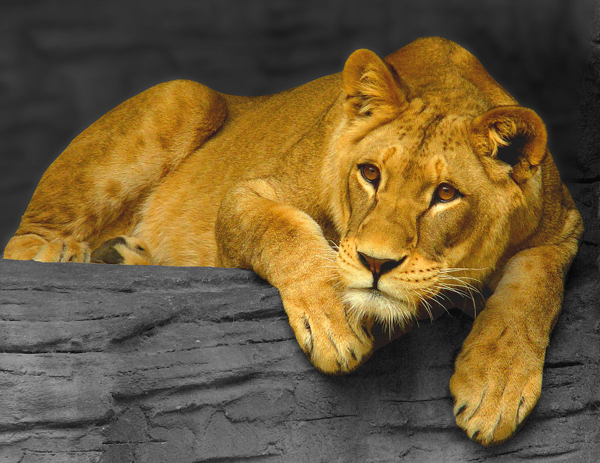 Leoaică moartă de COVID într-o grădină zoologică din India. Alți opt lei au fost testați pozitiv