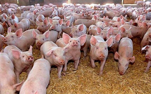 Focar de pestă porcină la Miercurea Sibiului. 80 de suine au fost sacrificate