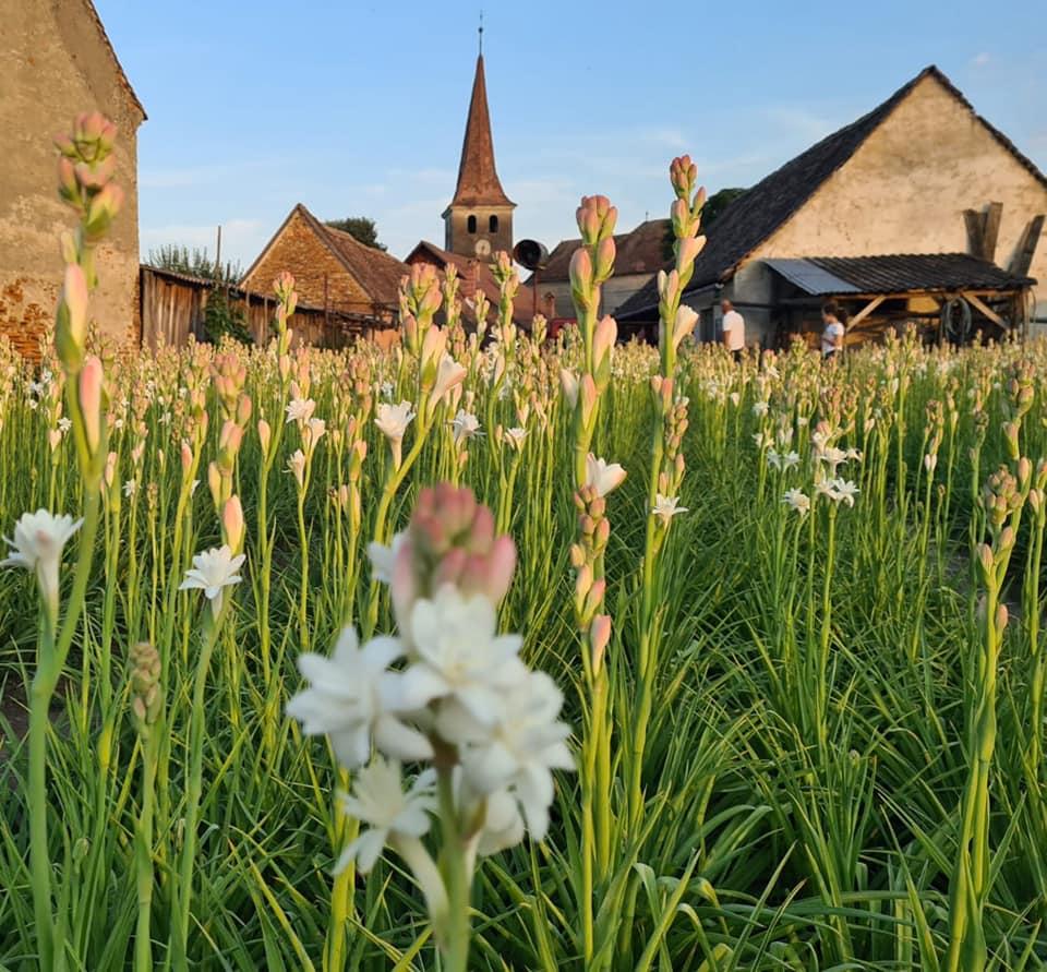 Tuberoza de Hoghilag, prima prima floare din România şi a treia din Europa protejată la nivel european