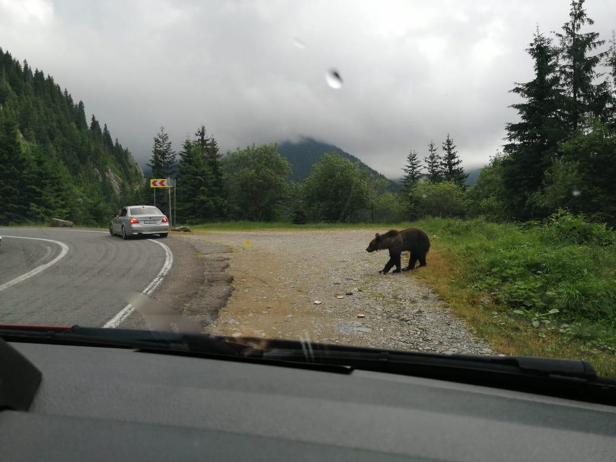 Mesaj RO-Alert: Urs fotografiat pe Transfăgărășan, în apropierea mașinilor