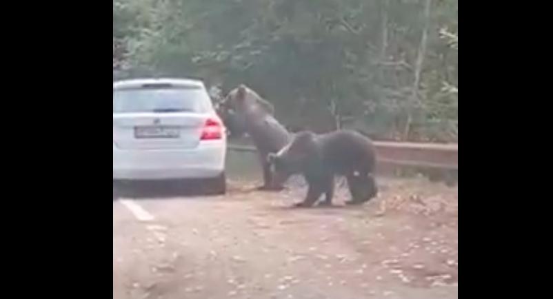 VIDEO Transfăgărășan: o turistă scoate capul din mașină la un urs și scapă la limită de un atac