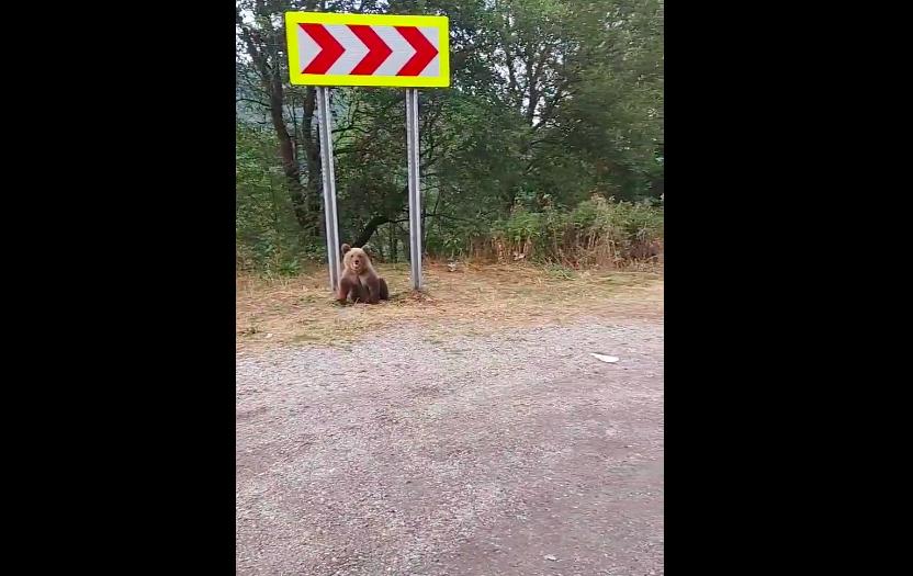 """Șoșoacă ceartă localnicii din zona Transfăgărășan, care sperie urșii: """"Problema e că nu-i hrănește absolut nimeni"""""""