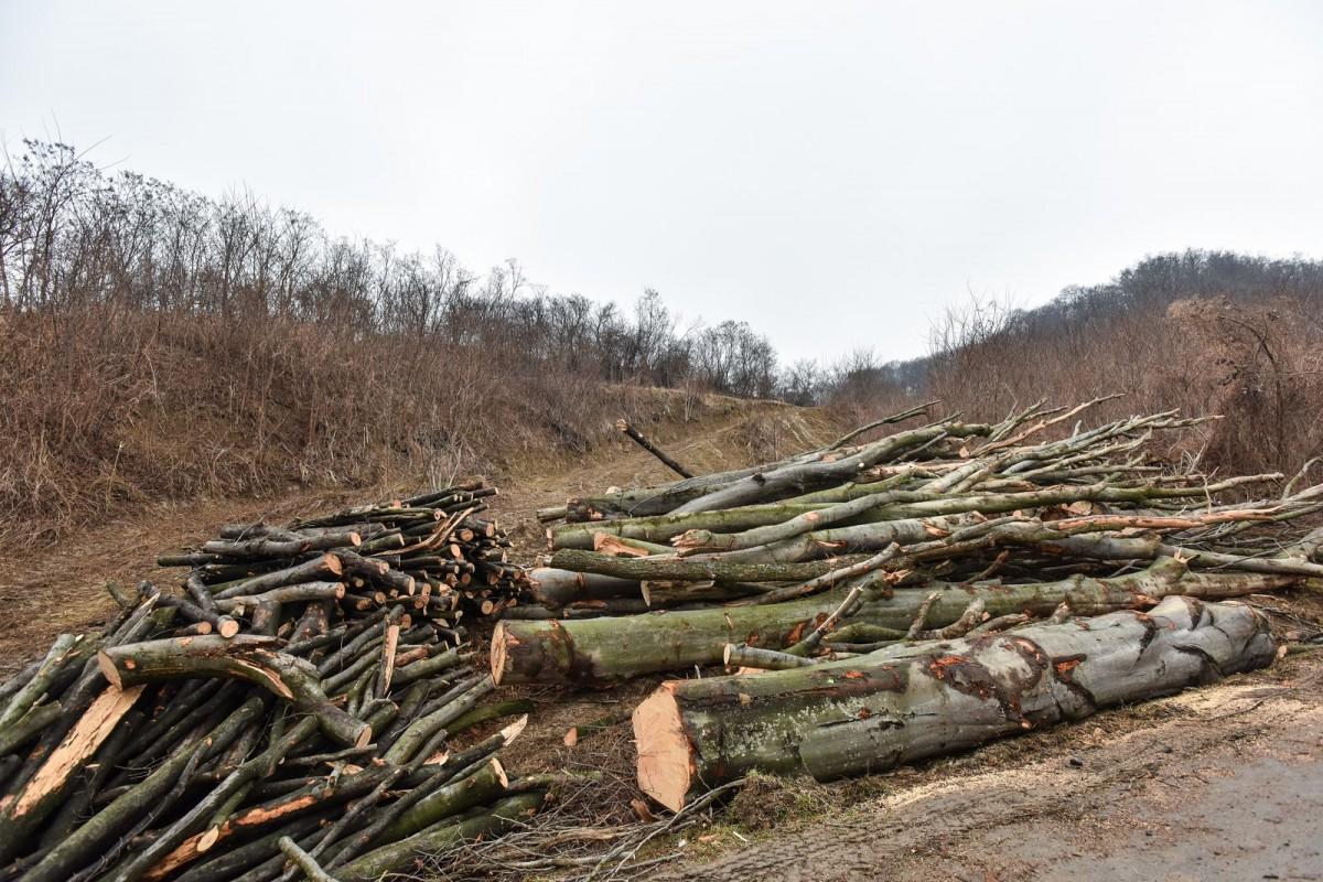 Scutul pădurii: dosar penal la 20 de ani, pentru tăiat și furt de salcâmi